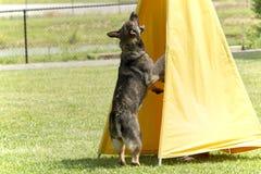 Pies W Milicyjnym K-9 szkoleniu Zdjęcia Stock