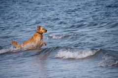 Pies w morze Obraz Royalty Free