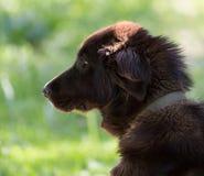 Pies w naturze Zdjęcie Royalty Free