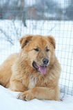 Pies w śniegu Zdjęcia Royalty Free