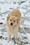 Pies w śniegu Obrazy Royalty Free