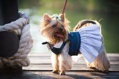 pies w odziewa Zdjęcia Royalty Free