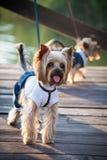 pies w odziewa Fotografia Royalty Free