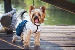 pies w odziewa Fotografia Stock