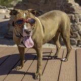 Pies w okularach przeciwsłonecznych zdjęcie stock