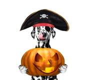 Pies w pirata kostiumu z halloweens dyniowymi Zdjęcie Royalty Free