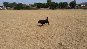 pies w polu Obrazy Royalty Free