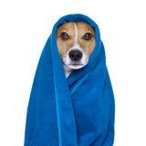 Pies w prysznic lub wellness zdroju fotografia stock