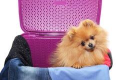 Pies w purpurowym pralnianym koszu Pomorzanka pies w koszu na białym tle Odosobniony pies i pralniany kosz Obrazy Stock
