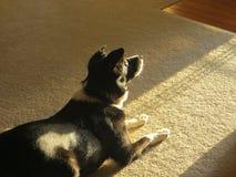 Pies w słońcu Zdjęcie Royalty Free