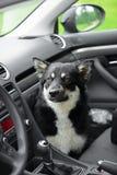 Pies w samochodzie Zdjęcie Royalty Free