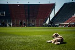 Pies w stadium Zdjęcie Stock
