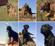 Pies w szkoleniu Fotografia Stock