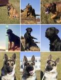Pies w szkoleniu Zdjęcie Stock