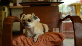 Pies w ten sposób śliczny na krześle zdjęcie wideo