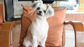 Pies w ten sposób śliczny na krześle zbiory