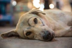 Pies w Thailand z patroszonymi szkłami Obraz Stock