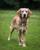 Pies w Wiejskim położeniu Fotografia Stock