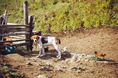 pies w wiosce Beagle gospodarstwo rolne wieś household obrazy stock