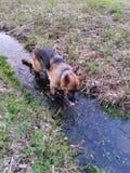 Pies w wodzie zdjęcia stock
