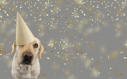 PIES W Z?OTYM urodziny LUB nowego roku kapeluszu LABRADOR RETRIEVER ?WI?TUJE przyj?cia ODOSOBNIONY studio strza? PRZECIW SZARY KO obraz royalty free
