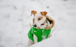 Pies w zielonym żakiecie w śniegu zdjęcie stock