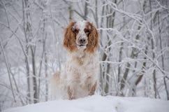 Pies w zim lasowych spojrzeniach Zdjęcia Royalty Free