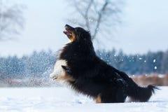Pies w zima krajobrazie skacze w śniegu Fotografia Stock