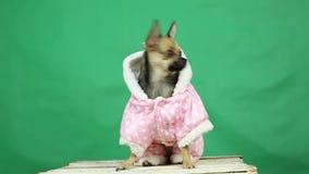Pies w zimie odzieżowy Chromakey zbiory wideo