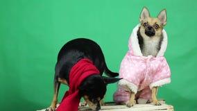 Pies w zimie odziewa zdjęcie wideo