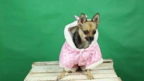 Pies w zimie odziewa chromakey zbiory wideo