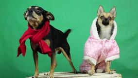 Pies w zimie odziewa chromakey zbiory