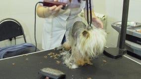 Pies w zwierzęciu domowym przygotowywa salon zbiory