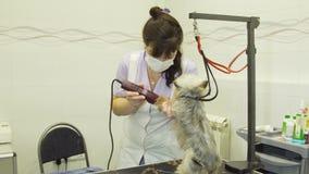 Pies w zwierzęciu domowym przygotowywa salon zdjęcie wideo