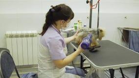 Pies w zwierzęciu domowym przygotowywa salon zbiory wideo