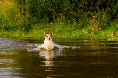 Pies watuje przez rzekę przy brodem Fotografia Royalty Free