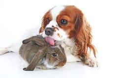 Pies wpólnie i królik Zwierzęcy przyjaciele Królika królika zwierzęcia domowego białego lisa rex atłasowy real żywy lop widder nh Zdjęcie Stock