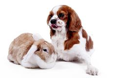 Pies wpólnie i królik Zwierzęcy przyjaciele Rodzeństwo rywalizaci królika królika zwierzęcia domowego białego lisa rex atłasowy r Fotografia Stock