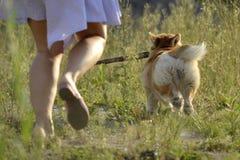 Pies wykonuje rozkazy właściciel Corgi pembroke zdjęcie royalty free