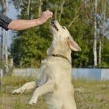 Pies wykonuje rozkazy właściciel tła psi szary labradora szczeniaka tyły aporteru widok fotografia stock