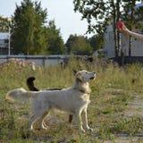 Pies wykonuje rozkazy właściciel tła psi szary labradora szczeniaka tyły aporteru widok fotografia royalty free