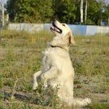 Pies wykonuje rozkazy właściciel tła psi szary labradora szczeniaka tyły aporteru widok obraz stock