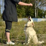 Pies wykonuje rozkazy właściciel tła psi szary labradora szczeniaka tyły aporteru widok zdjęcie royalty free