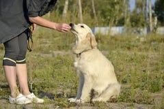 Pies wykonuje rozkazy właściciel tła psi szary labradora szczeniaka tyły aporteru widok zdjęcie stock