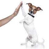 pies wysoki pięć Obraz Stock