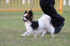 Pies wystawia Fotografia Stock