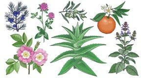 Pies wzrastał, koniczyna, jałowiec, aloes Vera, gałązka oliwna, gorzka pomarańcze i święty basil, Set Medyczni ziele ilustracja wektor