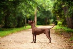 Pies Xoloitzcuintli traken, meksykańska bezwłosa psia pozycja outdoors na letnim dniu Obrazy Stock