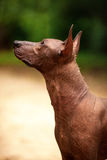 Pies Xoloitzcuintli traken, meksykańska bezwłosa psia pozycja outdoors na letnim dniu Fotografia Royalty Free