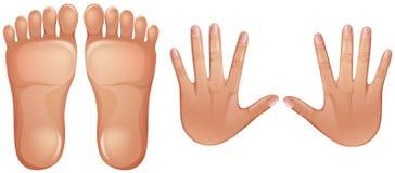 Pies y manos humanos de la anatomía ilustración del vector